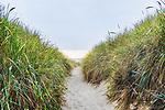 Trail through Windblown beach graass on ocean dunes, Nehalem Bay, Nehalem Bay State Park, Oregon.  Probably American Beach Grass but perhaps European, both invasive.  Between the Pacific Ocean and Nehalem Bay, looking north to Manzanita, Oregon