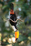 Adult toco toucan (Ramphastos toco) acrobatically perched / feeding in forest canopy. Northern Pantanal, Cuiaba River, Mato Grosso, Brazil.