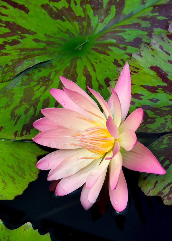 Albert Greenberg tropical water lily. Hughes Water Garden, Oregon