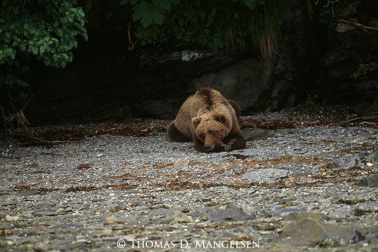 Grizzly Bear resting in Alaska