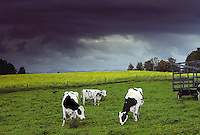 Three Holstein cows grazing in Vermont field near old hay wagon with blooming wild mustard and framatic storm clouds