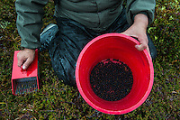 """Natasia Wahlberg with her haul of berries. Wahlburg, a Yupik orginally from Bethel, was picking late-ripening """"blackberries,"""" known more widely as crowberries, near the top of Hatcher Pass to make eskimo icecream. The road over the pass is closed to vehicle traffic for winter starting Sept. 14 this year."""