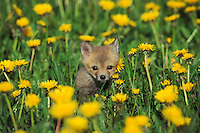 Red fox pup (Vulpes vulpes) in field of dandelions.