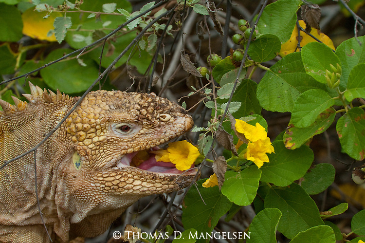 A land iguana eats the blossoms off a yellow cordia tree in the Galapagos Islands, Ecuador.