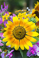 Helianthus sunflowers with sweetpeas, yellow gold and orange petals, ring around center