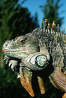 Profile portrait of a Common iguana (Iguana iguana).