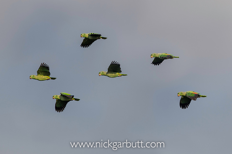 Flock of Mealy Parrots (Amazona farinosa) flying into a clay lick (Blanquillo). Manu Biosphere Reserve, Amazonia, Peru.