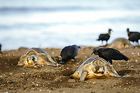 olive ridley sea turtle, Lepidochelys olivacea, females nest in the arribada or mass nesting event, the black vulture birds, Coragyps atratus, are predators preying on the eggs, Ostional, Costa Rica, Pacific Ocean