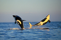 Orca whales double breach (Orcinus orca).  Pacific Northwest.