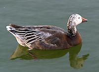 Dark lesser snow goose coming into adult plumage