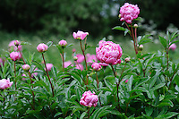 Paeonia 'Ornament' (Peony)