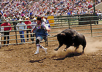 RODEO CLOWN DISTRACTING THE BULL TO SAVE A FALLEN RIDER. RODEO CLOWN. SALINAS CALIFORNIA USA.
