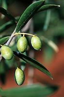 Europe/Italie/La Pouille/Env d'Alberobello: Détail olives sur l'arbre et trulli