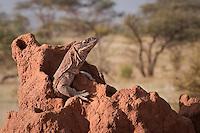 Monitor lizard, Samburu National Park,Kenya