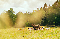 Cows in the field at Ramshulan along the Sjuhäradsleden, West Sweden, Sweden - Västsverige, Sverige