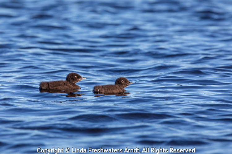 Common loon chicks on Day Lake in northern Wisconsin.