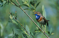 White-spotted Bluethroat, Luscinia svecica cyanecula , male singing, Fretterans, France, May 1999