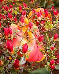 Azalea buds overhang older tulip flowers.  Spring flowers.  Rehboth Beach, Delaware, USA.  © Rick Collier