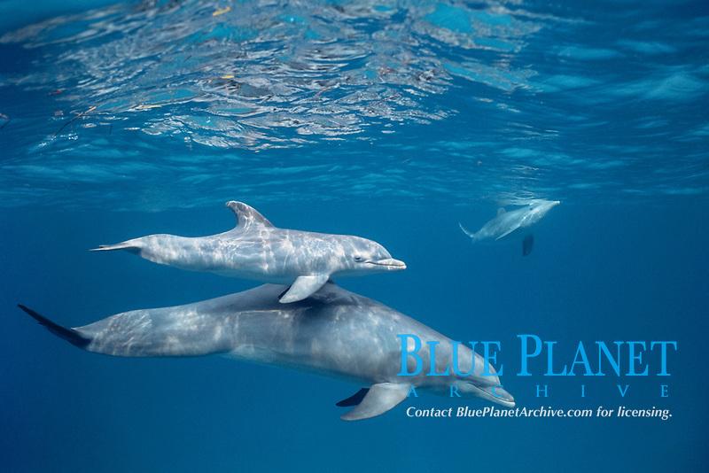 common bottlenose dolphin, Tursiops truncatus, mother and calf, Bahamas, Caribbean Sea, Atlantic Ocean