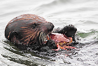 Close up of a sea otter (Enhydra lutris nereis) eating a large crab @ Moss Landing in the Monterey Bay National Marine Sanctuary.