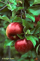 AT10-001b  Apple Tree- fruit, Wolf River variety