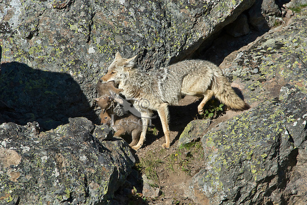 Wild Coyotes (Canis latrans)--mother moving young pups to new den.  Western U.S., June.