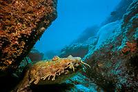 ornate or banded wobbegong or carpet shark, Orectolobus ornatus, Flat Rock, N. Stradbroke Island, near Brisbane, Queensland, Australia