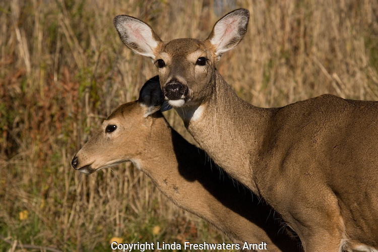 White-tailed doe and fawn ( Odocoileus virginianus) standing together.  Fall.  Winter, WI.