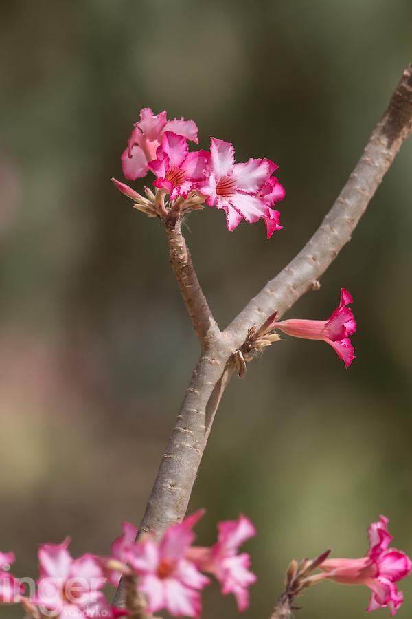 Flowering Desert Rose at Ranch di Bango near St Louis, Senegal