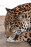 jaguar laying on large boulder looking left, close-up of face
