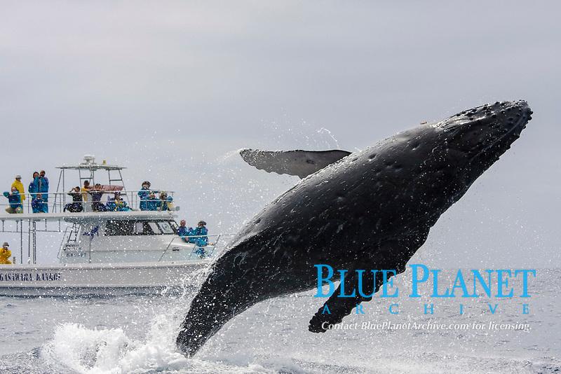 humpback whale, Megaptera novaeangliae, breaching, Chichi-jima, Bonin Islands, Ogasawara Islands, Natural World Heritage Site,  Tokyo, Japan, Pacific Ocean