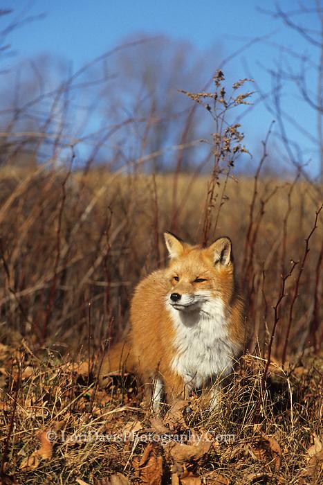 Red Fox in Leaves