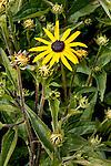 Black Eyed Susan, Sequim, WA.  Olympic Penninsula, Washington.  Outdoor Adventure. Olympic Peninsula