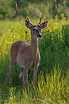Young white-tailed buck in northern Wisconsin.