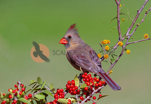 Female Northern Cardinal posing on flowery branch with red berries