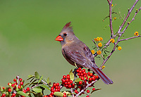 Female Northern Cardinal perched on branch with yellow flowers and red berries against soft green background