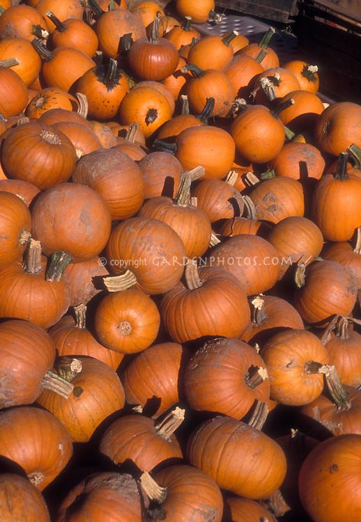 Pile of many orange pumpkins
