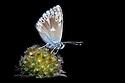Gavarnie Blue (Agriades pyrenaicus) butterfly, Nordtirol, Tirol, Austian Alps.