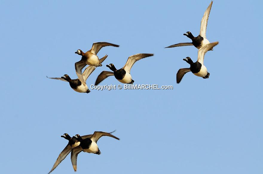 00342-013.06 Lesser Scaup flock in flight.  Bluebill, hunt, waterfowl, wetland.