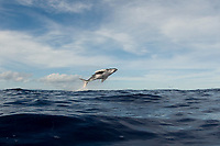 humpback whale calf, Megaptera novaeangliae, breaching, Tonga ( South Pacific Ocean )