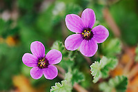 Texas Heron's-Bill (Erodium texanum), blooming, Joshua Tree National Park, California, USA