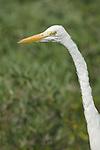 USA, FL, Sanibel, Ding Darling NWR, Great White Egret (Egretta alba)