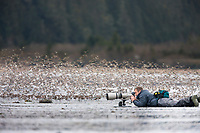 Photographers view the flocks of shorebirds, dominated by Western sandpipers flock to the shores of Hartney Bay, Copper River Delta, Prince William Sound, Alaska, to refuel during their migration to summer nesting grounds.
