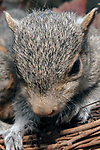 3 week old Eastern gray squirrel pup in nest, vertical, close-up.