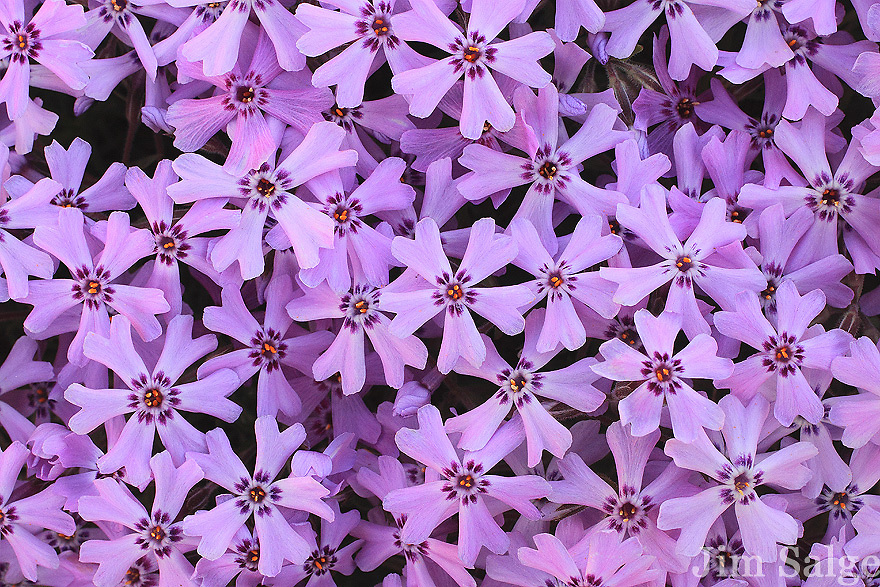 A close up view of Creeping Phlox growing in a cemetery in Southern, New Hampshire