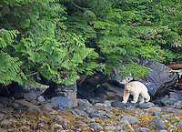 The spirit or Kermode bear is a subspecies of black bear occasionally born with white fur.  It is only found in a small area of British Columbia.