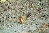 Death Valley, coyote