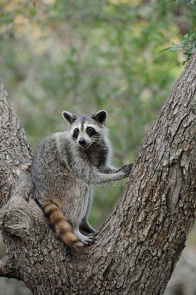 Northern Raccoon (Procyon lotor), adult in Cedar Elm (Ulmus crassifolia), New Braunfels, San Antonio, Hill Country, Central Texas, USA
