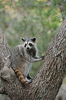 Northern Raccoon (Procyon lotor), adult in Cedar Elm (Ulmus crassifolia), New Braunfels, San Antonio, Hill Country, Central Texas, USA