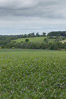 10-6-2021 Winter beans growing in Rutland<br /> ©Tim Scrivener Photographer 07850 303986<br />      ....Covering Agriculture In The UK....